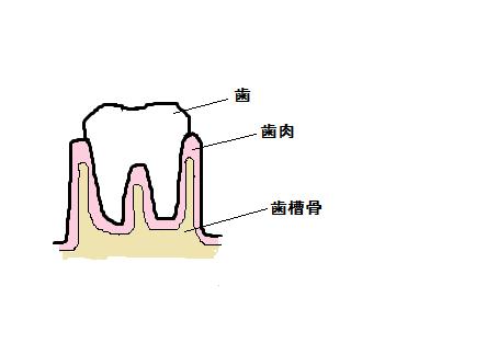 歯を支える骨(歯槽骨)とは?のイメージ